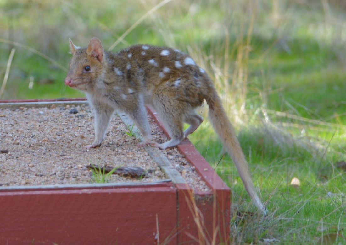 Eastern Quoll, coming to check out what all the noise is about.