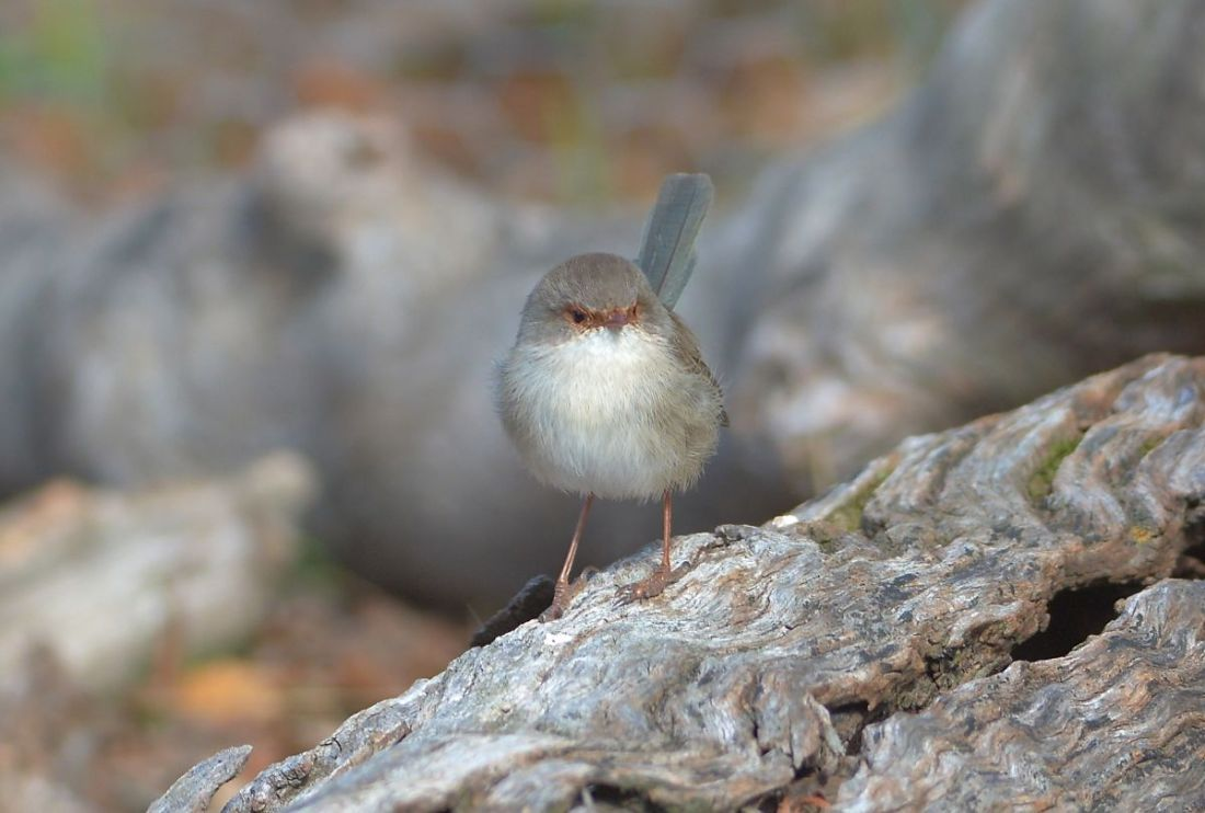 What are those Quolls doing in my territory. A very agitated Superb Blue Wren in action