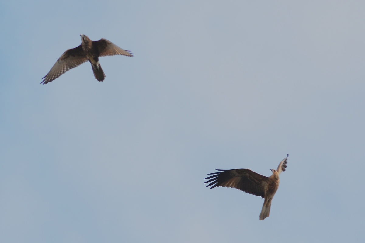 Early in proceedings, the noisy Brown Falcon mixed it with the Eagle and with the Kites.