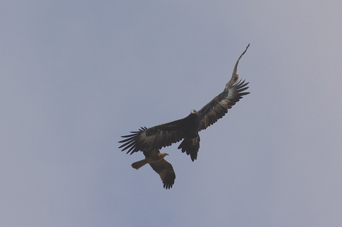 The size of the kites against the eagle is well seen