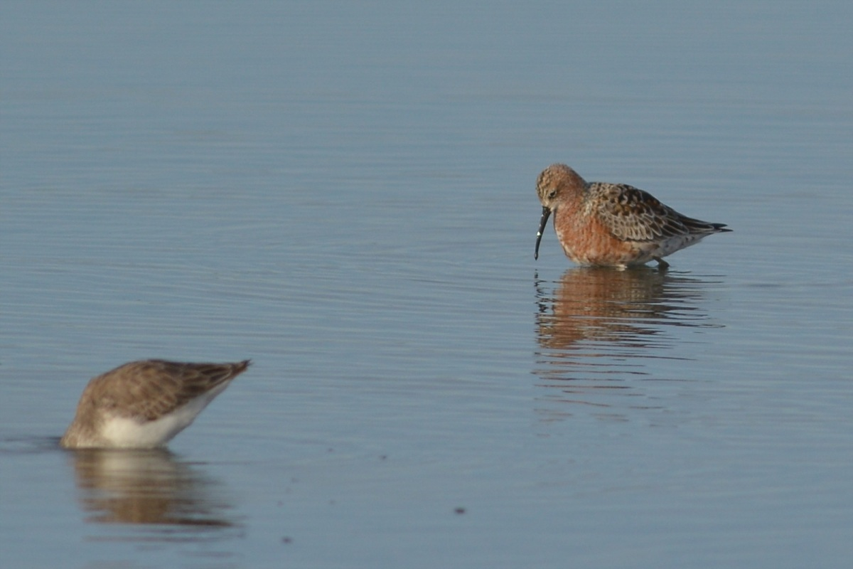 All dressed up and,  well, no where to go. A Curlew Sandpiper in breeding plumage.