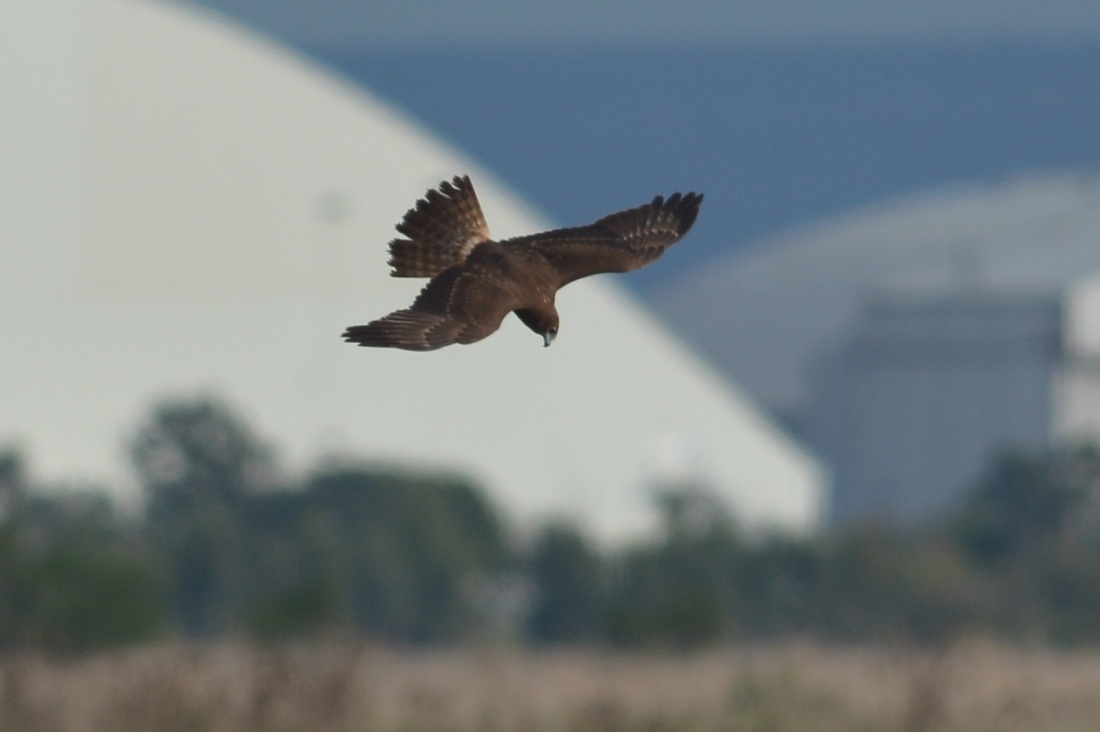 Aerial feats of excellence. Swamp Harrier with Avalon Airport in the background