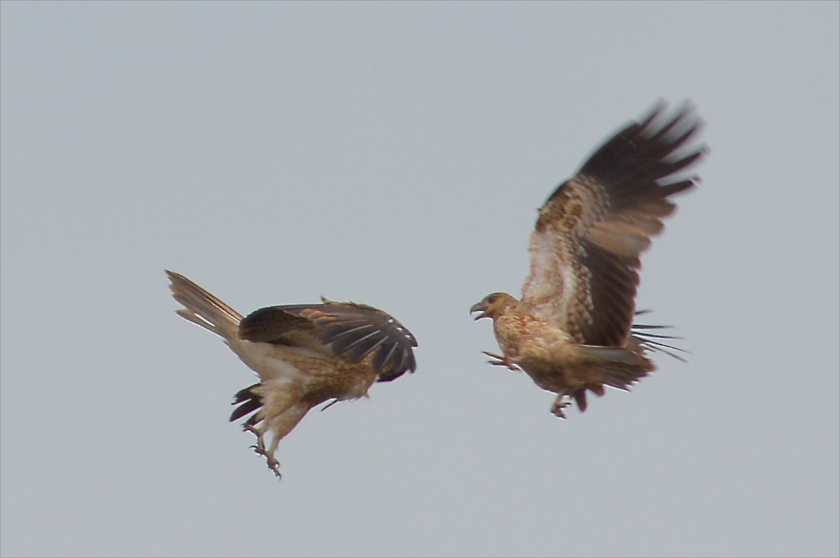 A couple of Whistling Kites enjoying the breezes.