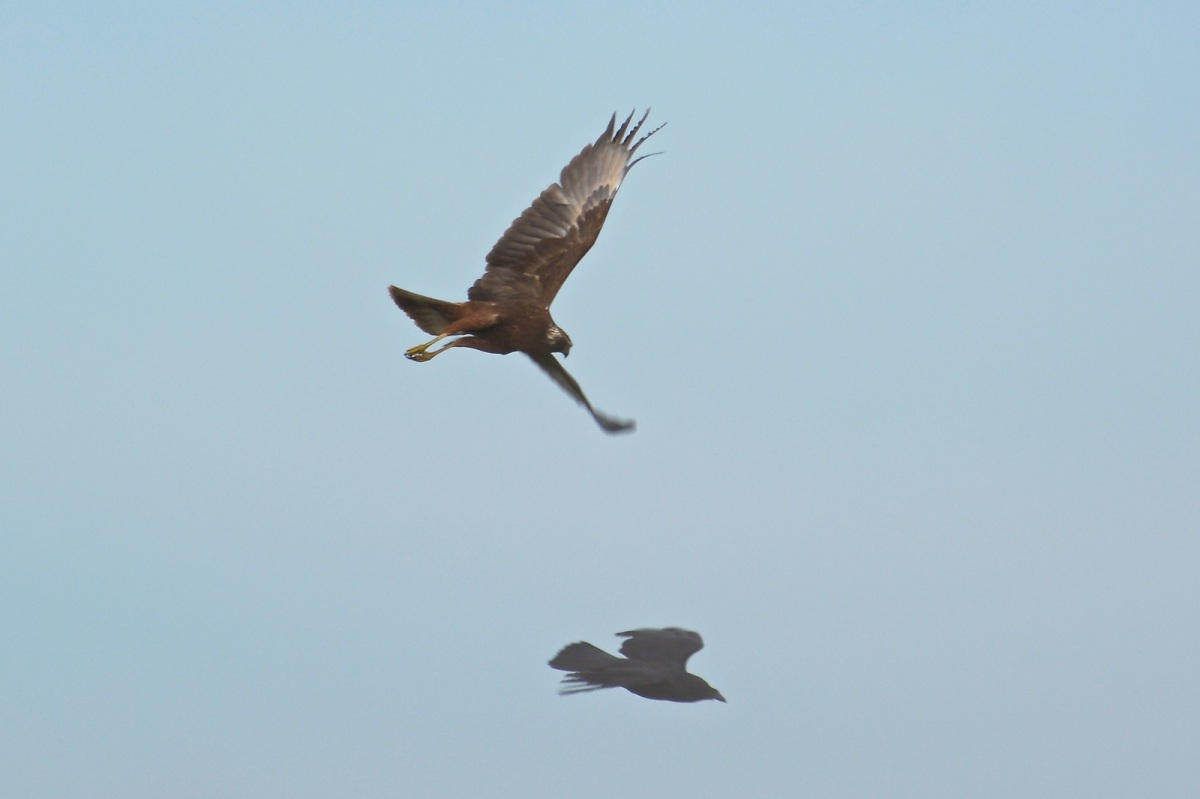 Hmmm what's wrong with this picture.  Harrier in hot pursuit of Raven