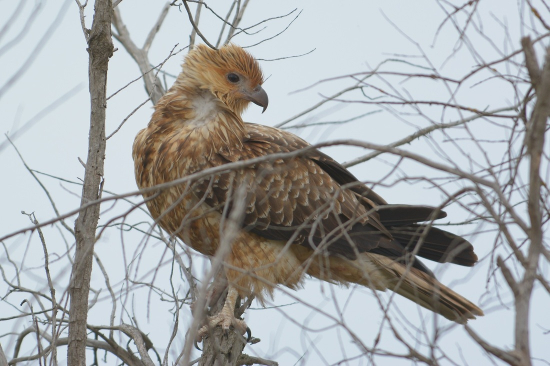 Whistling Kite resting from a hectic game.