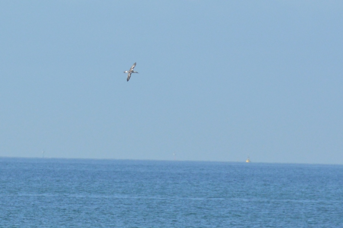 An Australasian Gannet way out in the bay fishing