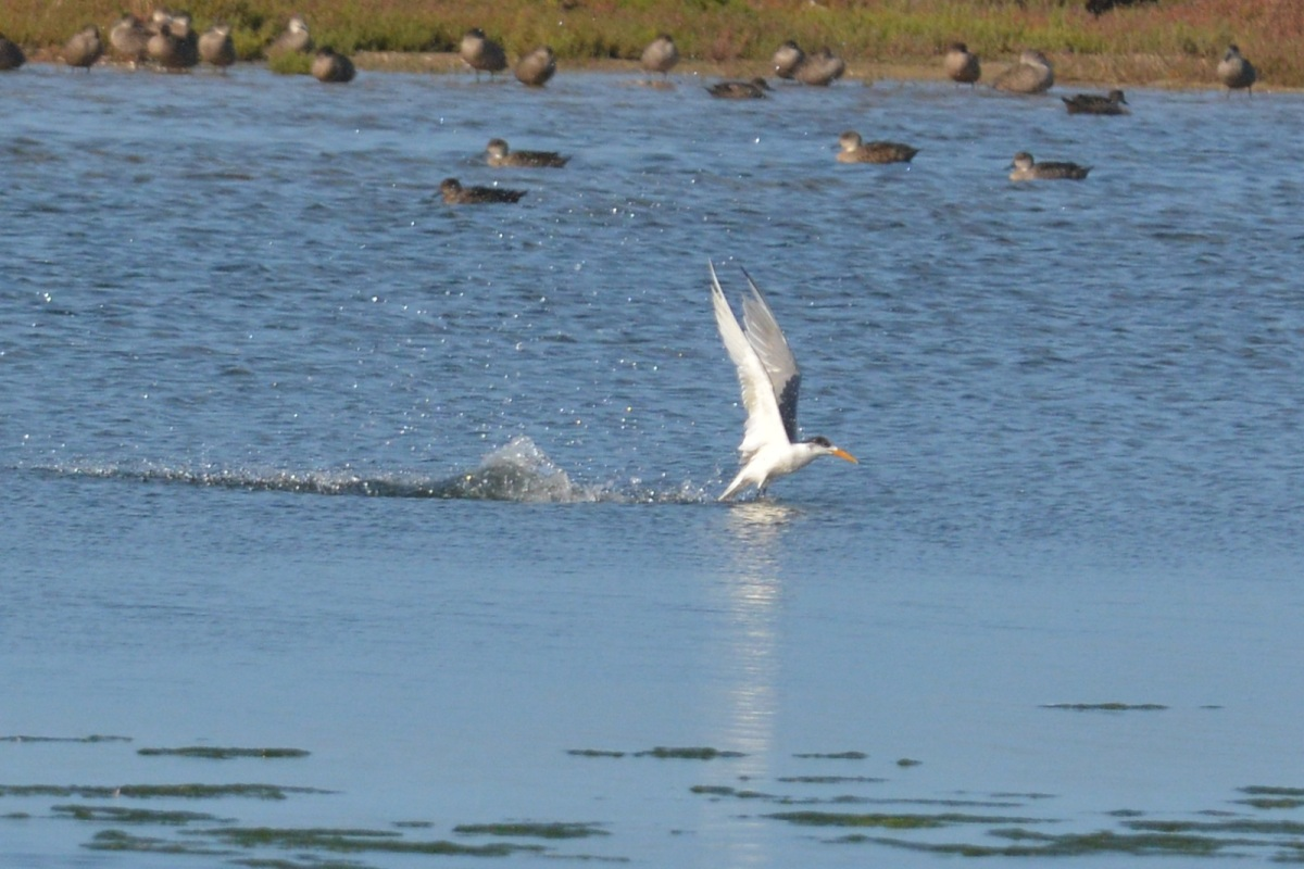Tern closer in fishing