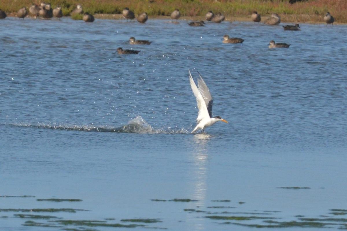 Tern closer in fishing