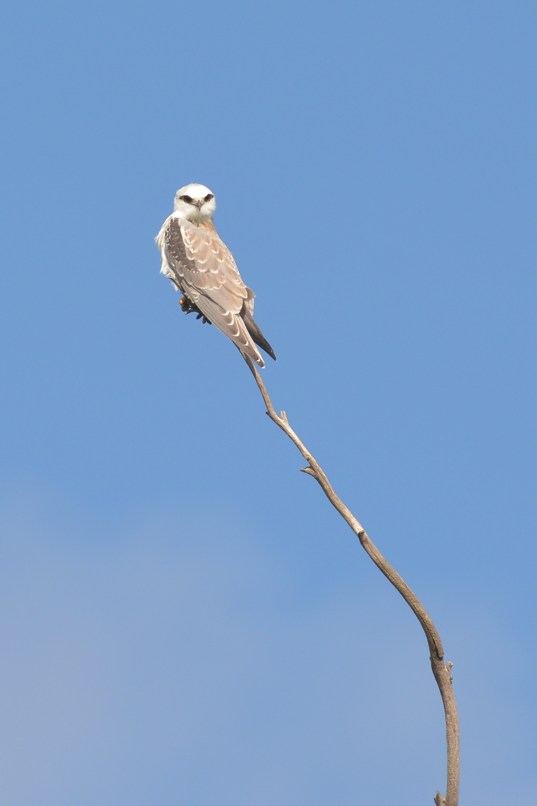 I know, its not a Shorebird, but this juvenile Black-shouldered Kite was just sitting around.