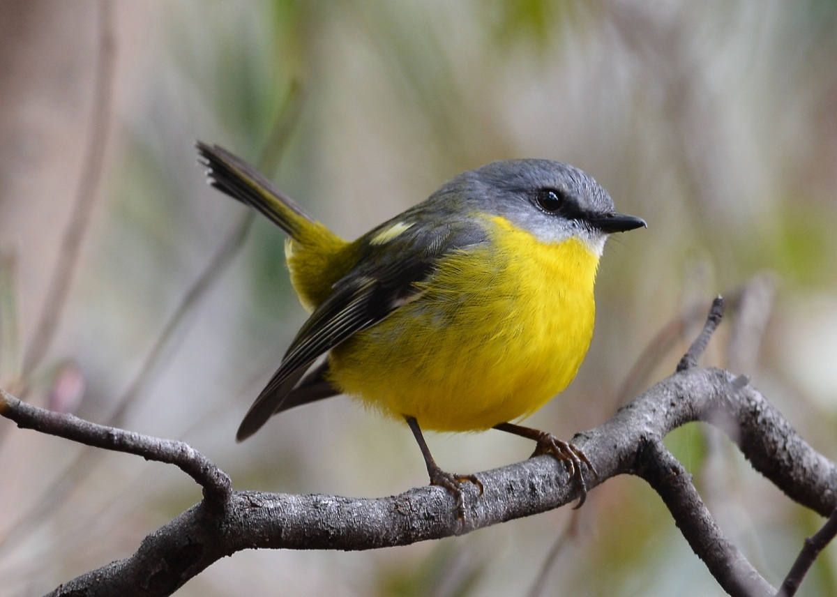 Jack, the Eastern Yellow Robin,  The cocked tail is not for my benefit, he's connecting with Jill a little further in the scrub.