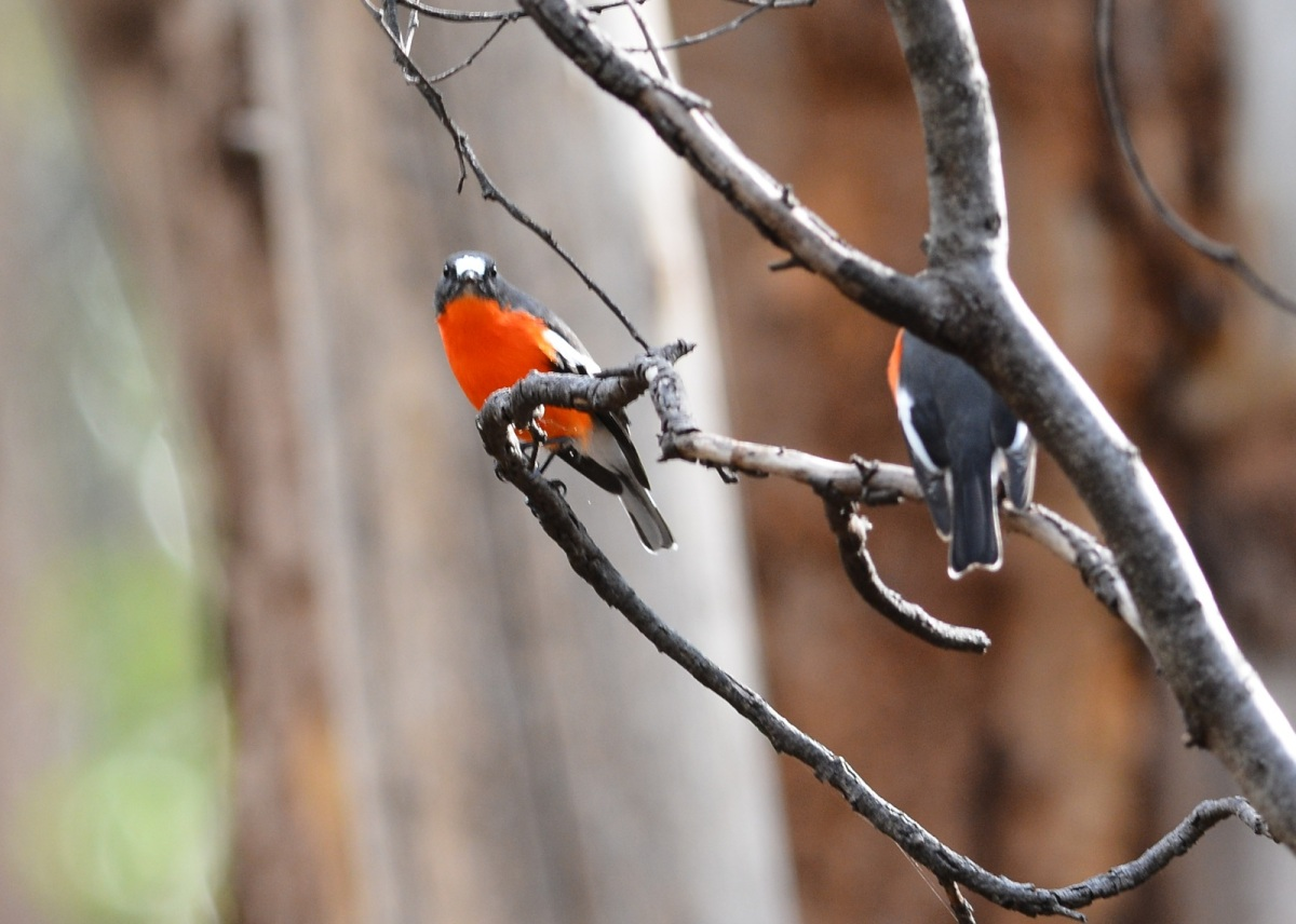 Two Flame Robin blokes, have a bit of a discussion about photography.  Not often to see them in the same tree, but they were chatting away.