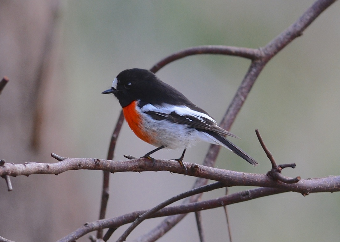 Scarlet Robin, male, not the best I've done, but nice to see him.