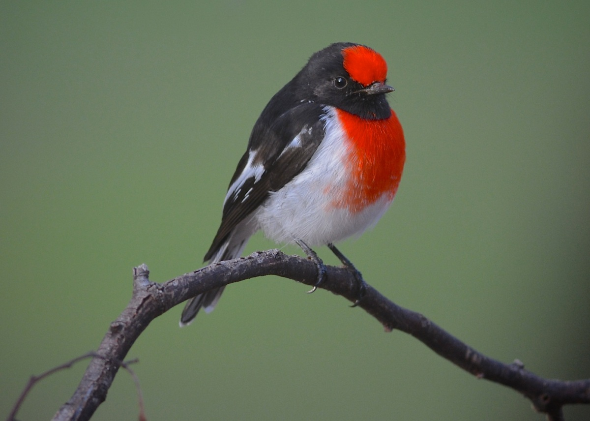 Peter, the Red-capped Robin.  Almost working with me now.