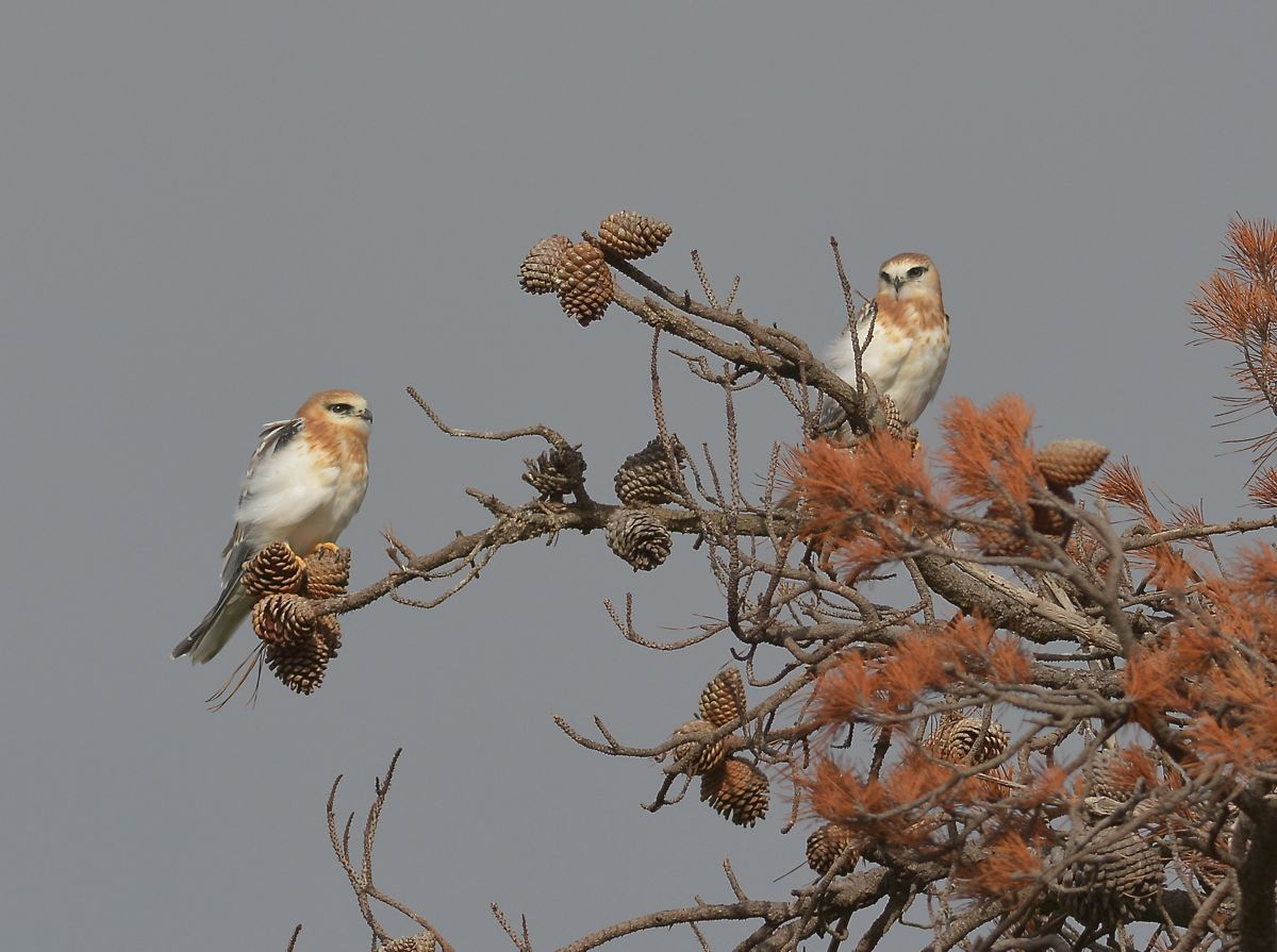 Two recently fledged Black-shouldered Kites waiting for Dad to move that raucous Brown Falcon on.