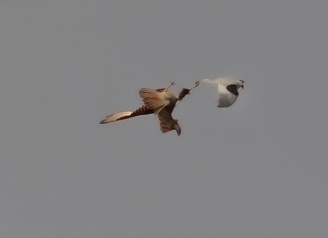 Territory is everything. This is a pass on a Brown Falcon to get it to move away from the fledglings.