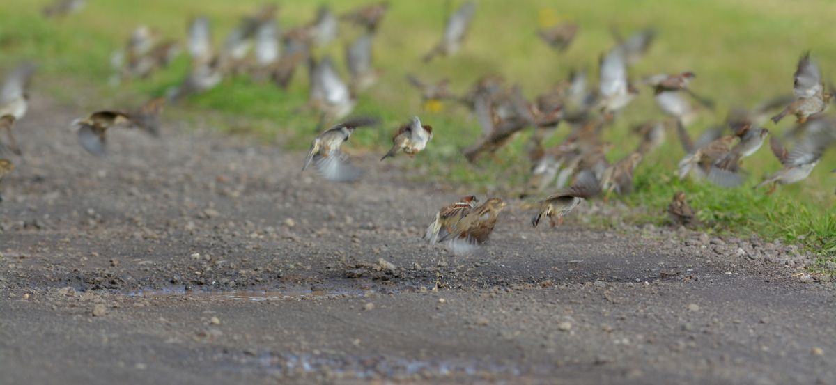 Sparrows, fleeing from a bathing moment.  The approach of the Flacon was enough to set off a Magpie Lark, and its first high-pitched call had the sparrows on the move as one.