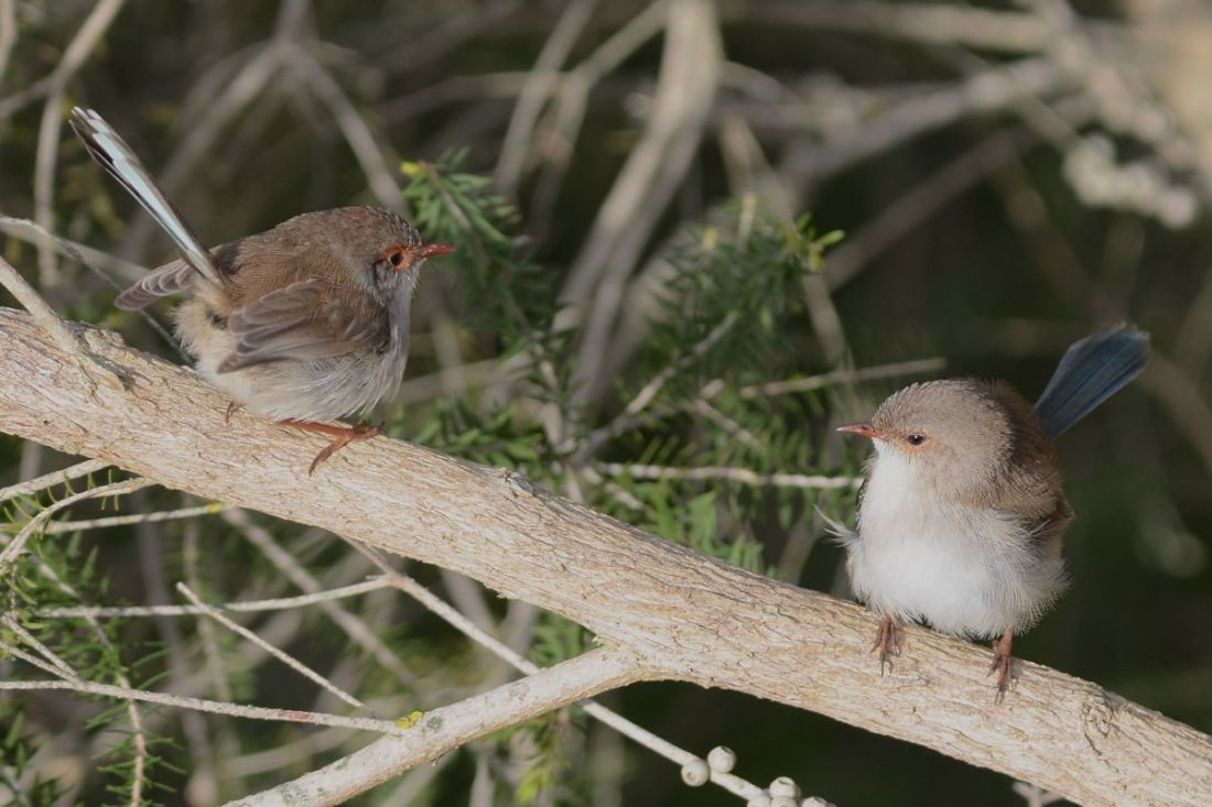 Snugglepot and Cuddlepie.  Two really friendly Supeb Blue-wrens who entertained us with the antics.