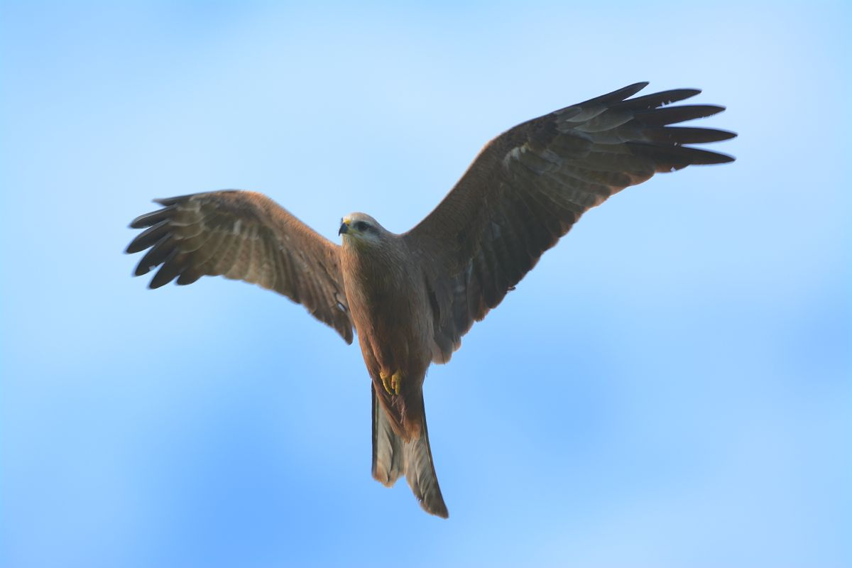 A Black Kite circling, hoping to take a mouse from a Black-shouldered Kites.