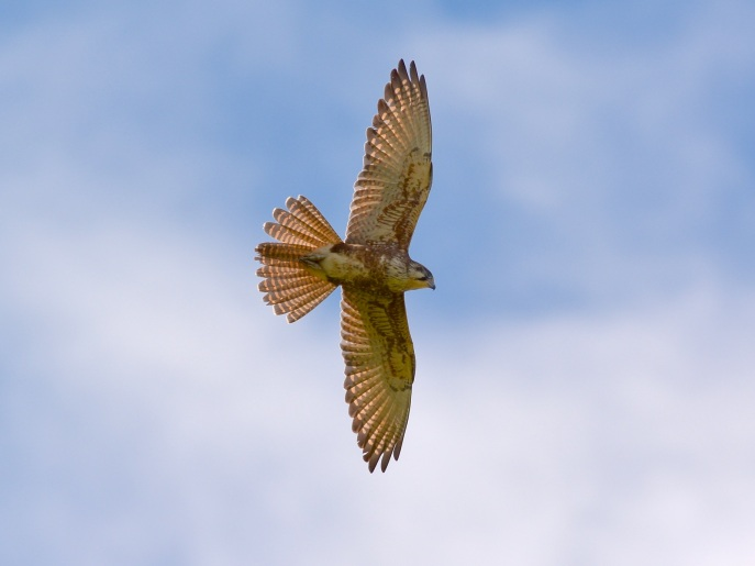 Brown Falcon on a turn. She has a nesting site in mind, I'm sure