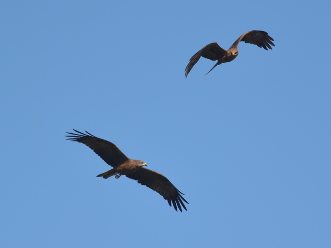 Black Kites dancing together in the late afternoon sunshine