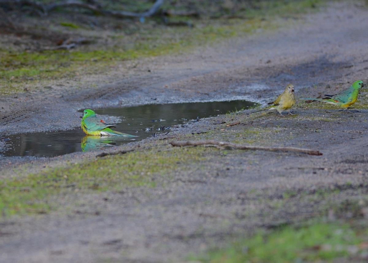 Red-rumped Parrots at bath
