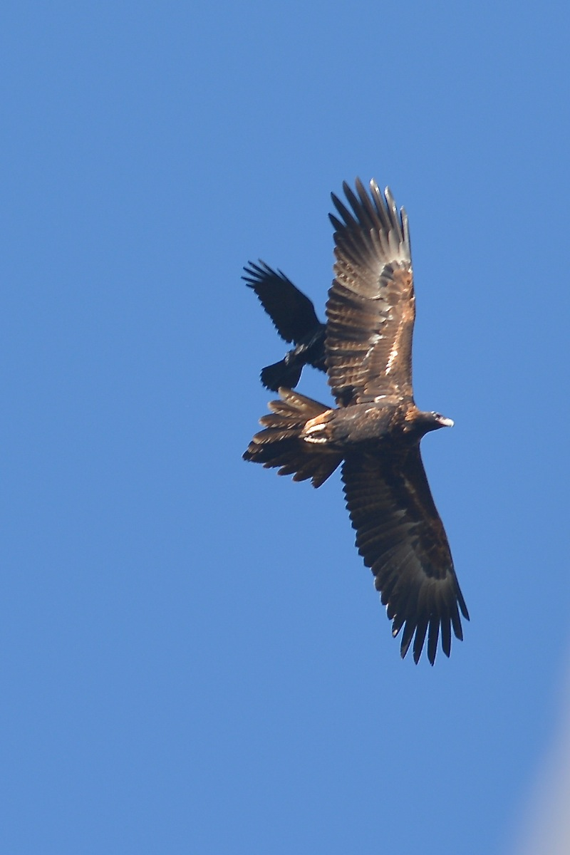 Wedge-tailed Eagle being given its marching orders by a very territorial Little Raven