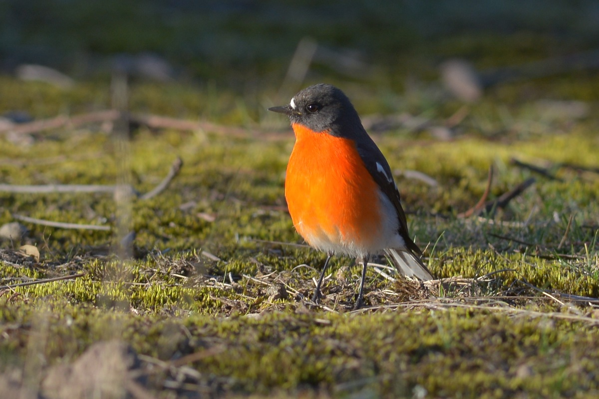 One of the great delights of watching the Flame Robins hunt is watching one working methodically across an open area.
