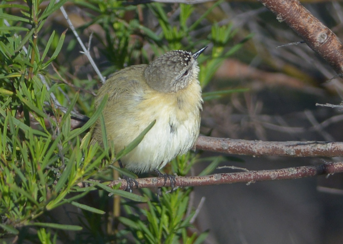 Yellow-rumped Thornbill at bathing duties, preening in the early morning sunshine.