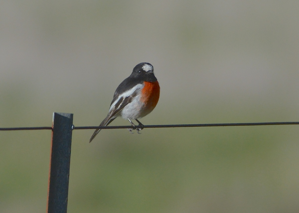 One of a number of Scarlet Robins for the day.