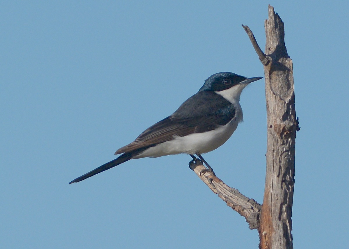 Restless Flycatcher, quite happy to perform with 25 people watching