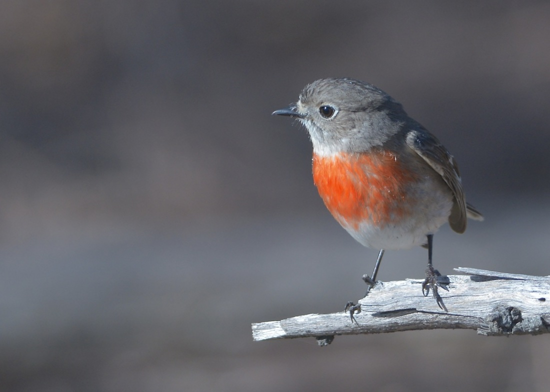 Female Scarlet Robin hunting with a large flock of Flame Robins