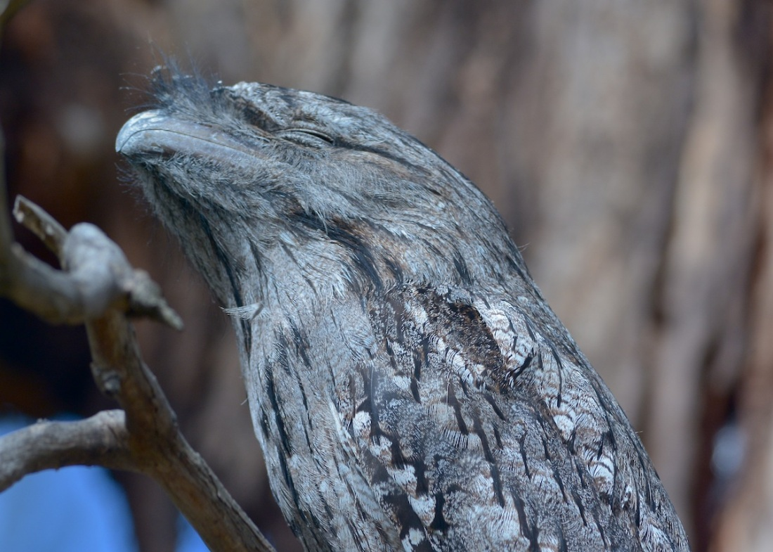 Tawny Frogmouth, quite near the Main Office area  and completely oblivious to our presence.