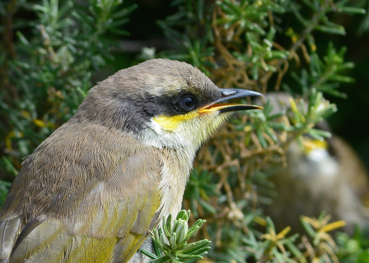 Portrait session with  a Singing Honeyeater