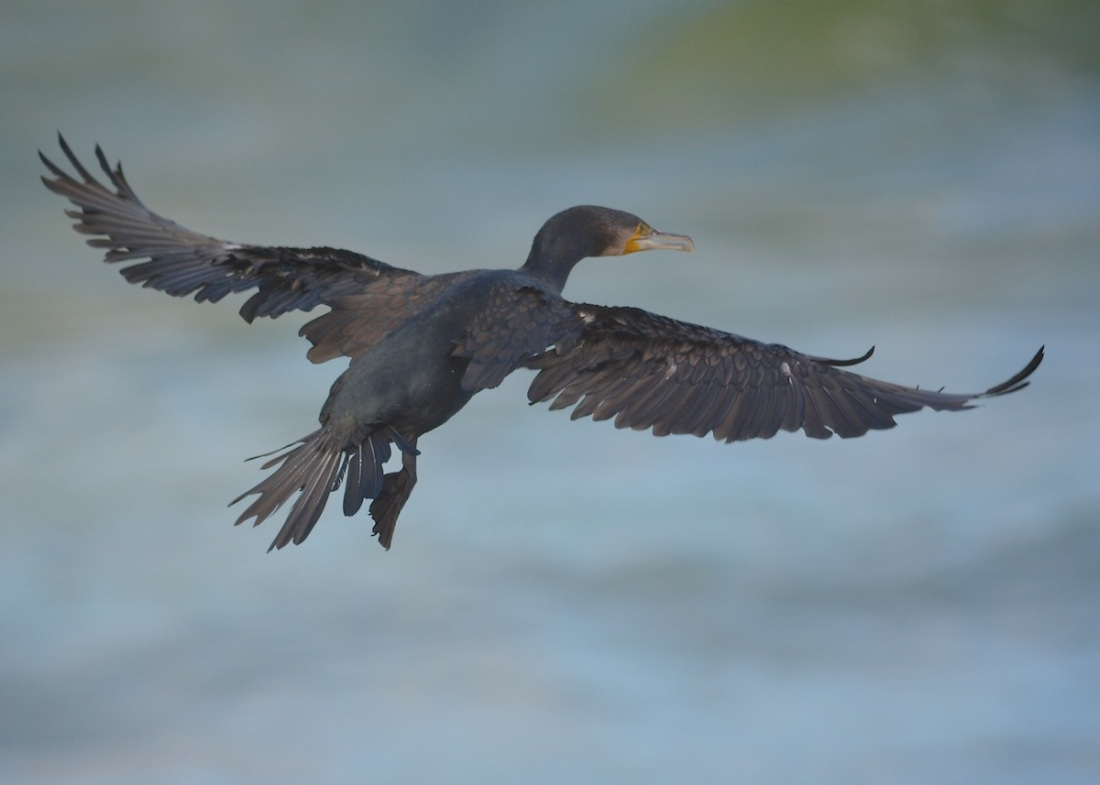 Black Cormorant with every feather working hard to control landing in the stiff breeze