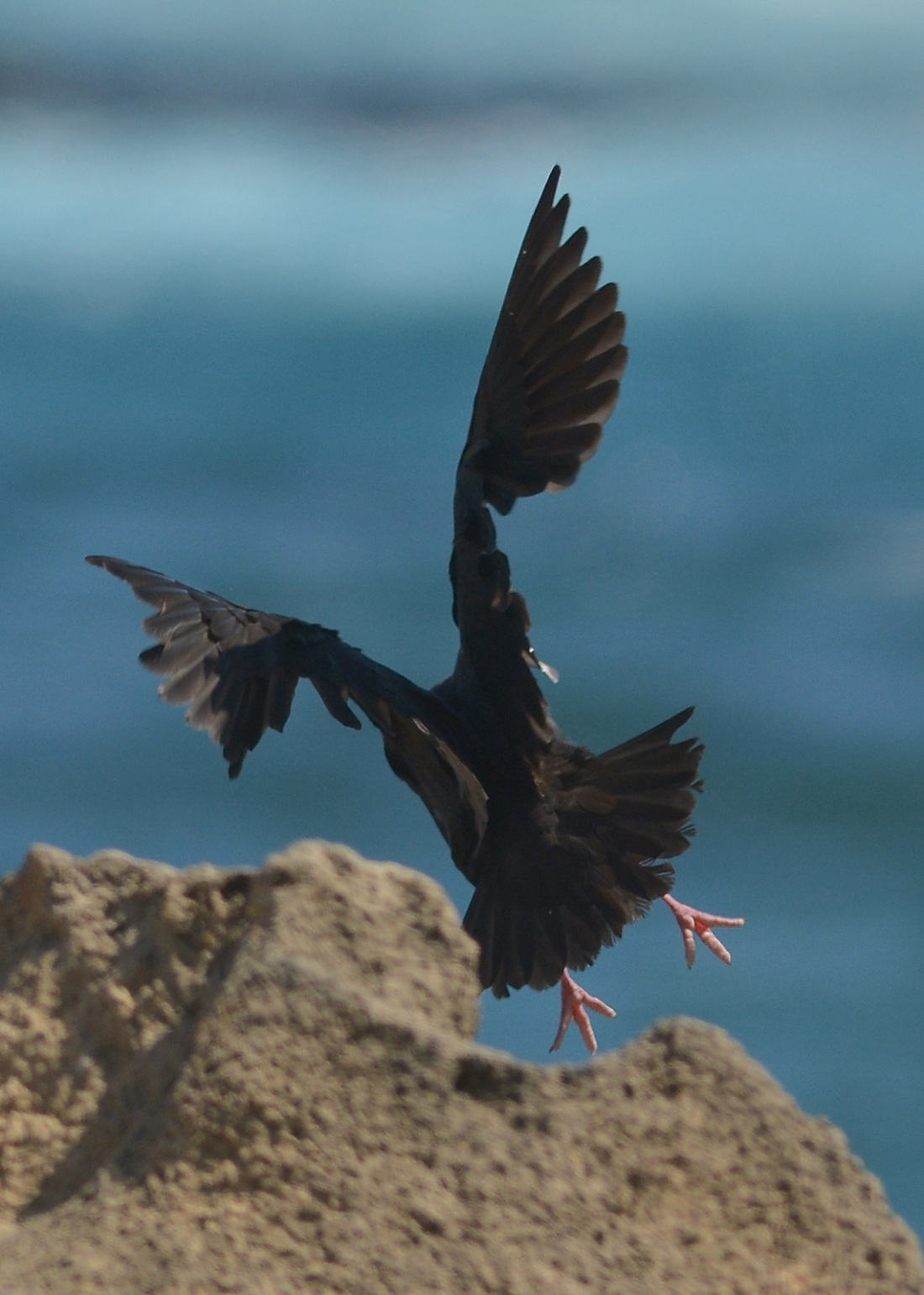 My one and only shot of a Sooty Oystercatcher.  I couldn't get over the small gap in the cliff to get any close.