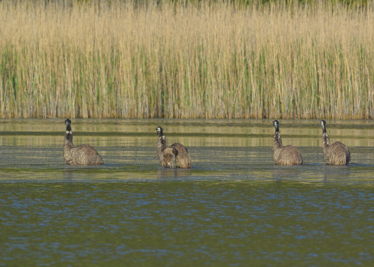 Four Emus tracking across the lake where the water is Emu deep