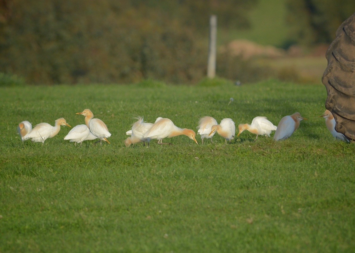 Late afternoon sunshine gracing Cattle Egrets