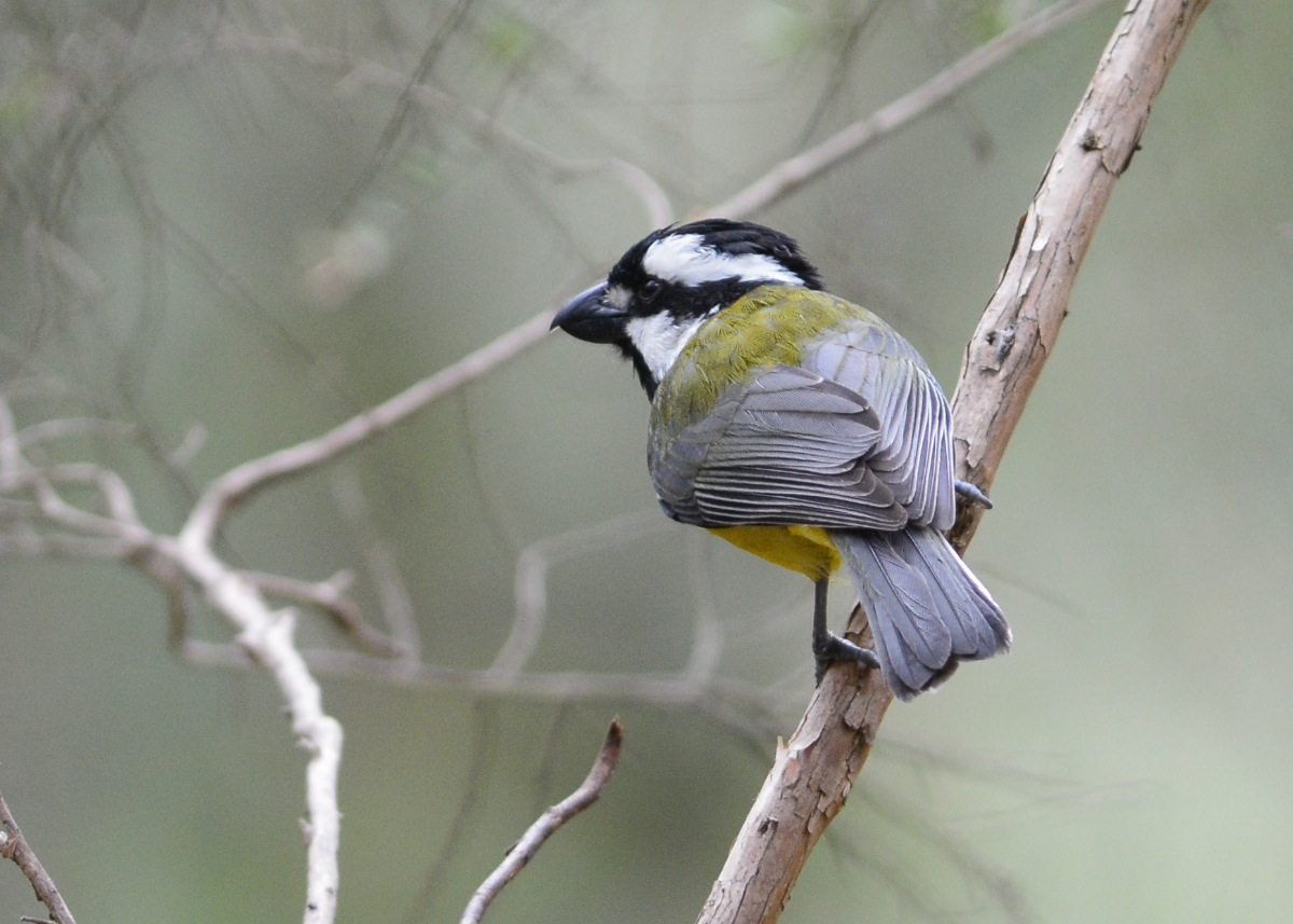 Crested Shrike-tit. One of two working along the trees near our walking track.
