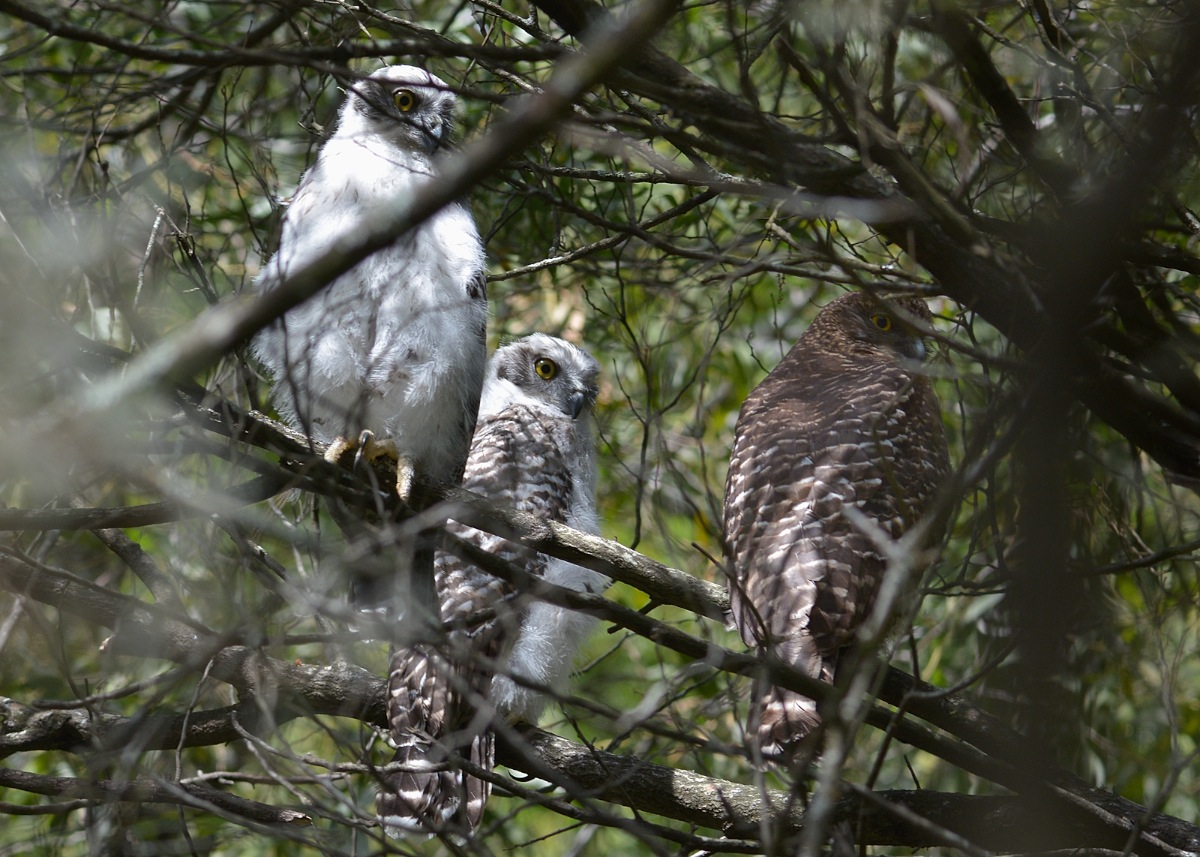 Not one, not two, but three. Doesn't get much better than this.  A family portrait of Powerful Owls