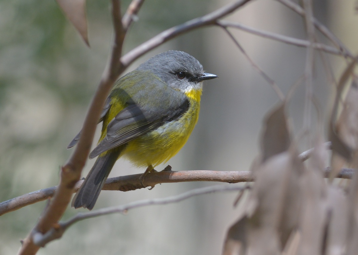Hard-working and quickly harassed Eastern Yellow Robin parent.