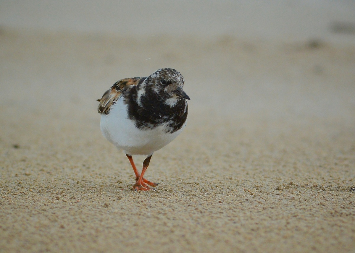 Ruddy Turnstone, in the wind and the rain.