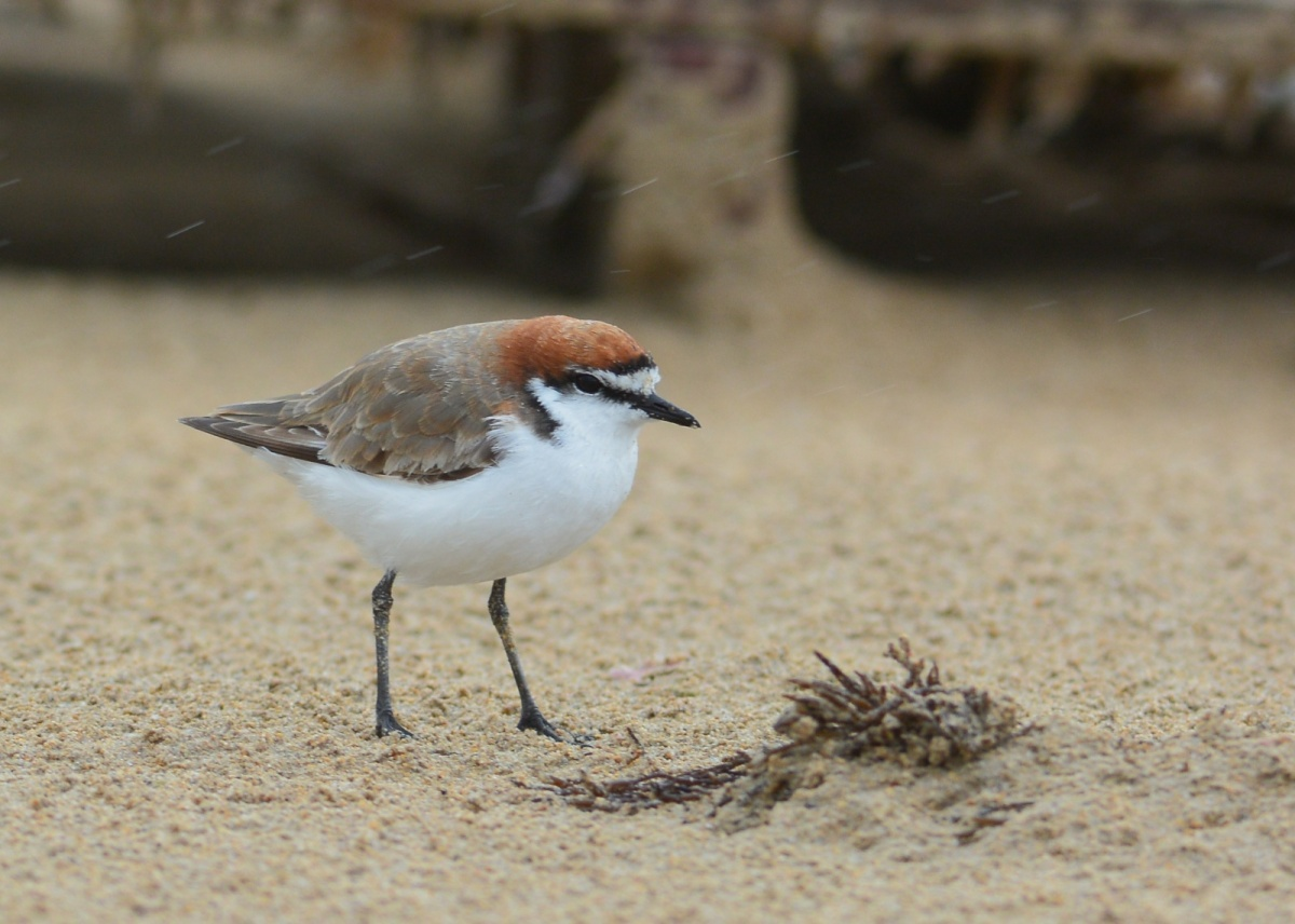 Must be the world's greatest optimist. Red-capped Plover trying to hide behind a small bump on the beach.