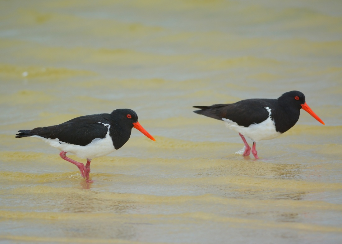 Pied Oyster Catchers in the Lagoon on the beach at the end of Gorman's Road