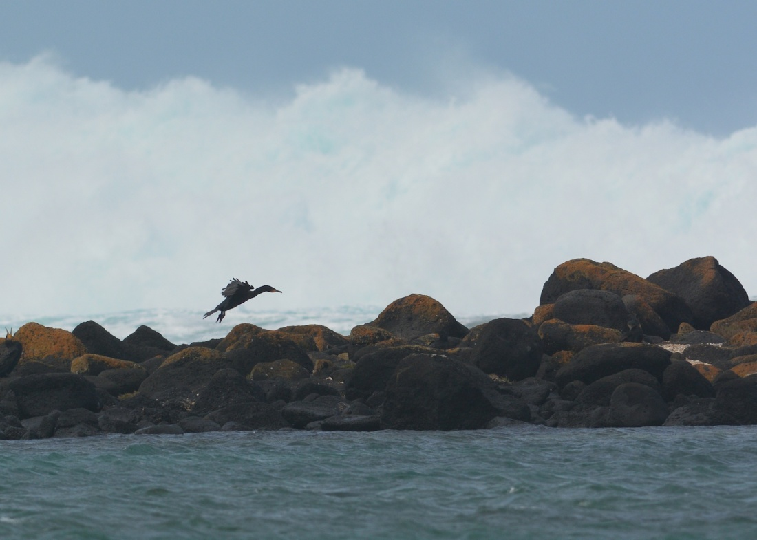 Black Cormorant on Griffiths Island, its sheer audacity against the incoming waves was inspiring.
