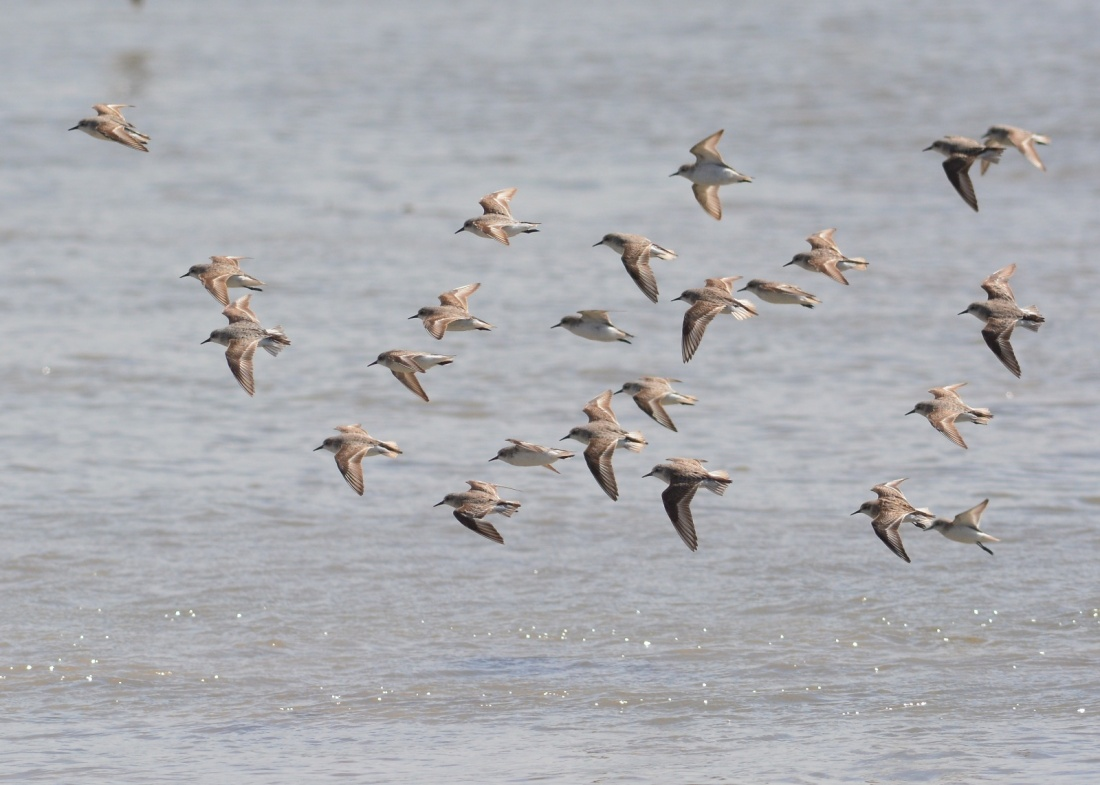Sharp-tailed Sandpipers back from Siberia