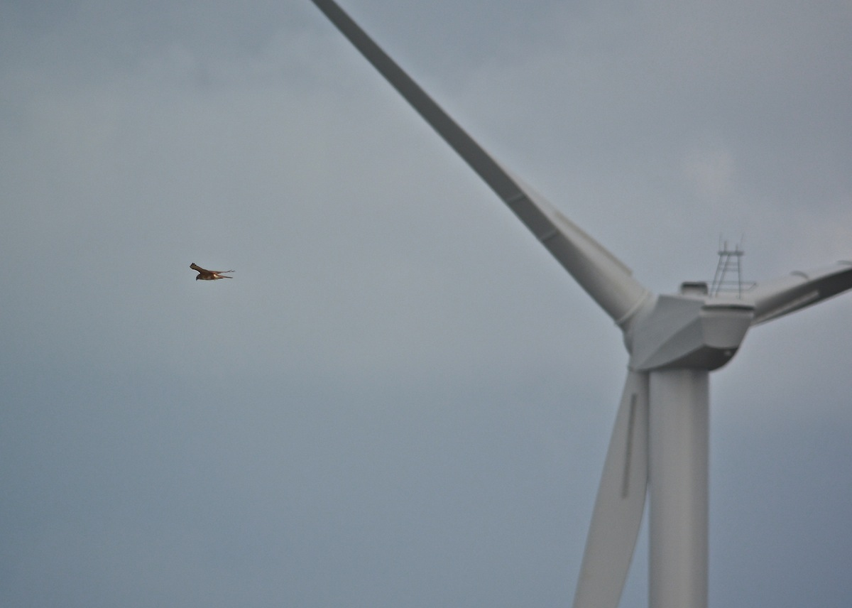 Brown Falcon and wind turbine.