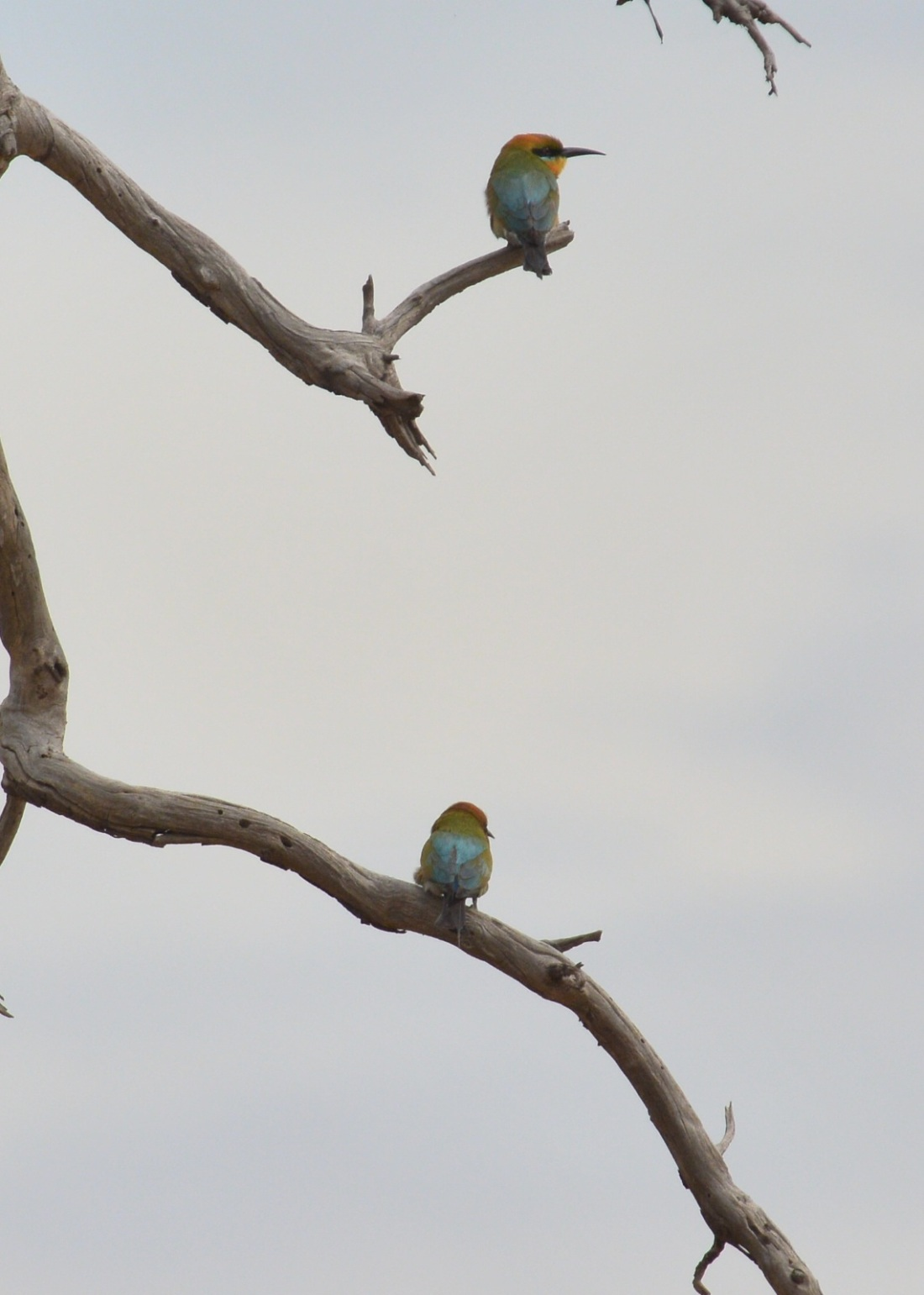 A couple of the number of Rainbow Bee-eaters we located.
