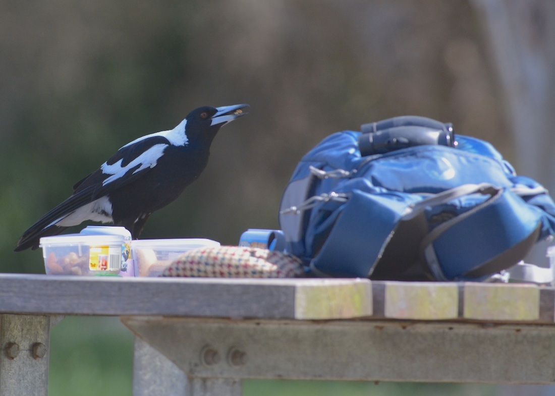 How cool.  A magpie just had to check out where we'd had breakfast.