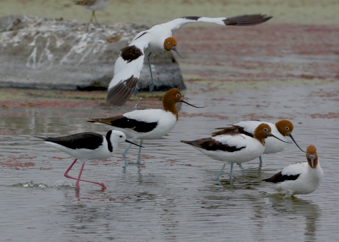 Its not obvious, but the Black winged Stilt is moving the Red-necked Avocet along. No room in this pool.