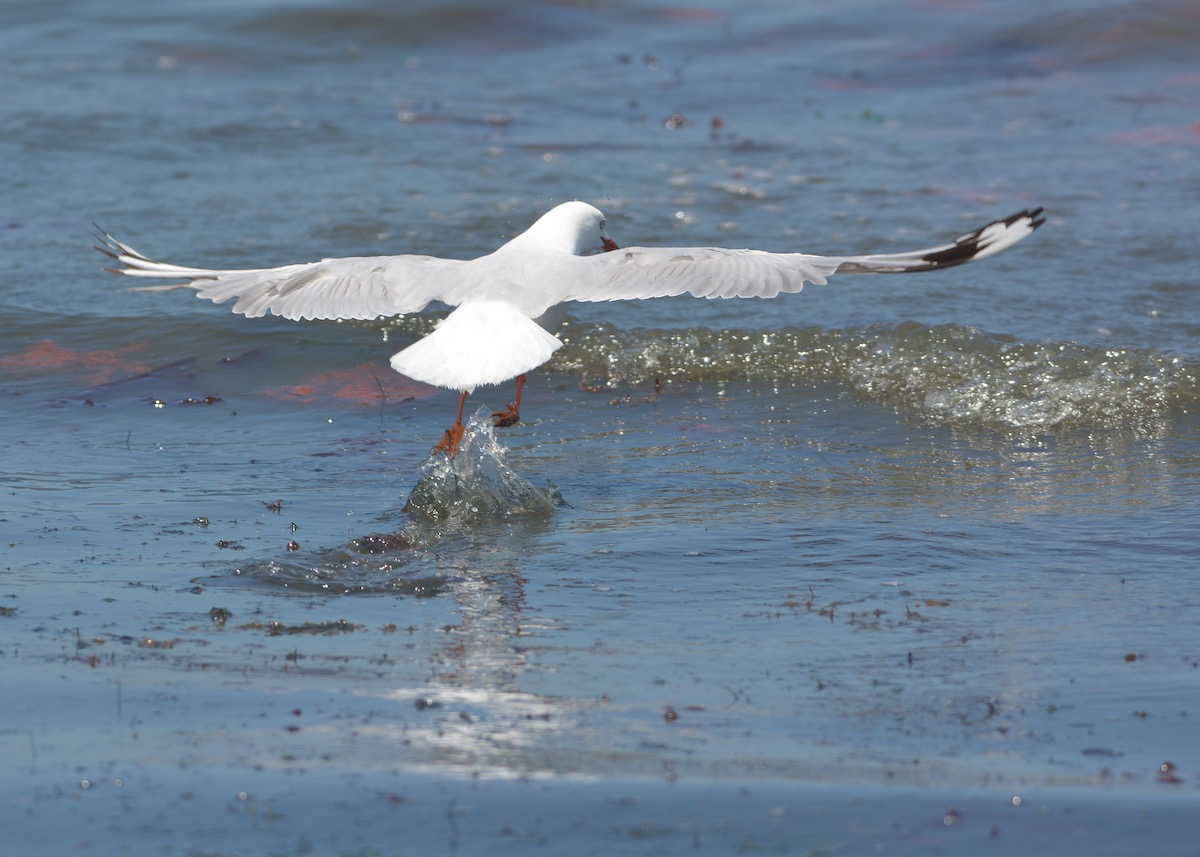 Always enjoy the flight control of the Silver Gull.